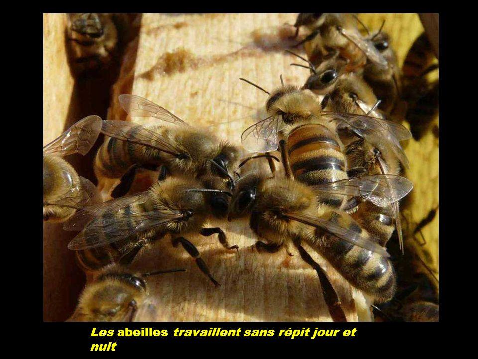Pour 1kg de miel elle doit faire 50.000 voyages. Un Kg de miel représente 40.000 Kms, soit un tour de la terre.