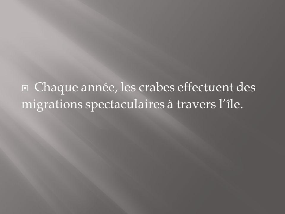 Chaque année, les crabes effectuent des migrations spectaculaires à travers lîle.