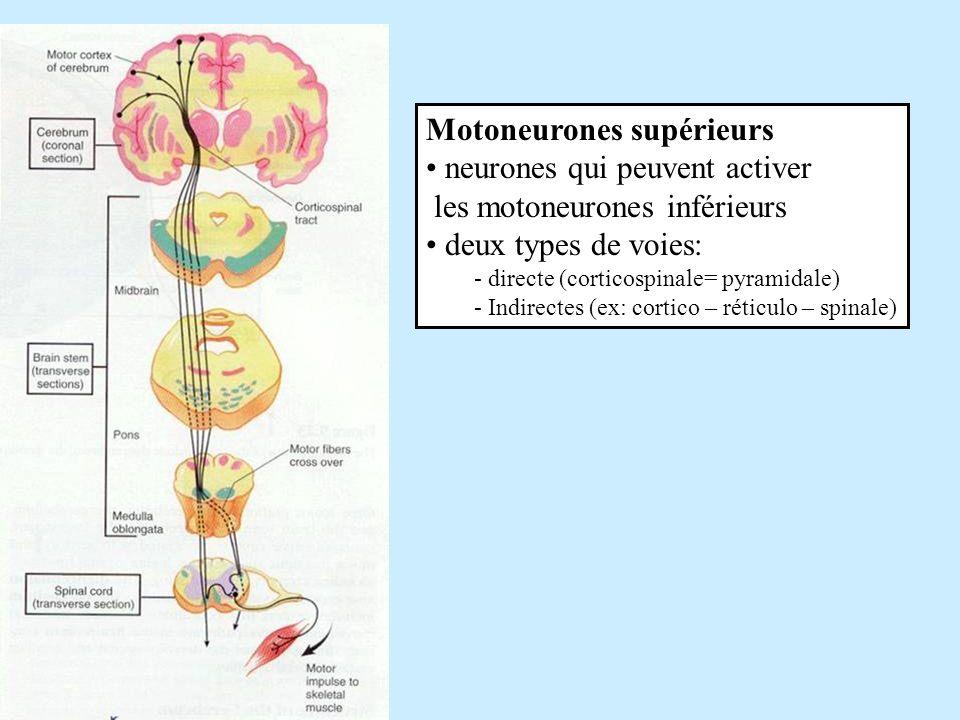 Motoneurones supérieurs neurones qui peuvent activer les motoneurones inférieurs deux types de voies: - directe (corticospinale= pyramidale) - Indirec