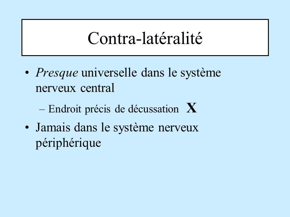 Contra-latéralité Presque universelle dans le système nerveux central –Endroit précis de décussation X Jamais dans le système nerveux périphérique