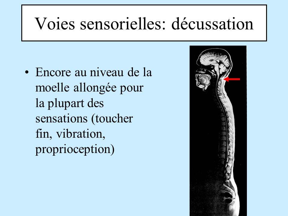 Voies sensorielles: décussation Encore au niveau de la moelle allongée pour la plupart des sensations (toucher fin, vibration, proprioception)