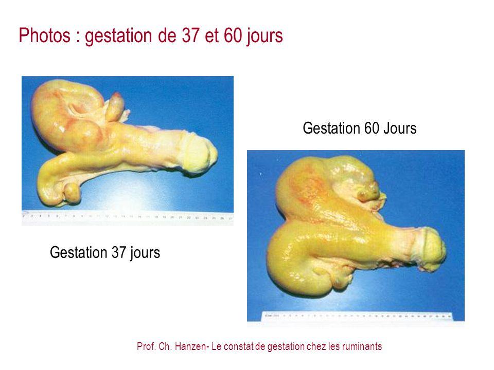 Prof. Ch. Hanzen- Le constat de gestation chez les ruminants Gestation 37 jours Gestation 60 Jours Photos : gestation de 37 et 60 jours