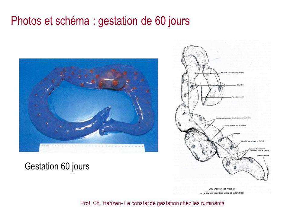 Prof. Ch. Hanzen- Le constat de gestation chez les ruminants Gestation 60 jours Photos et schéma : gestation de 60 jours