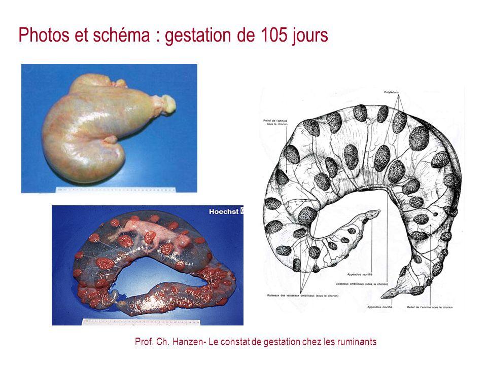 Prof. Ch. Hanzen- Le constat de gestation chez les ruminants Photos et schéma : gestation de 105 jours