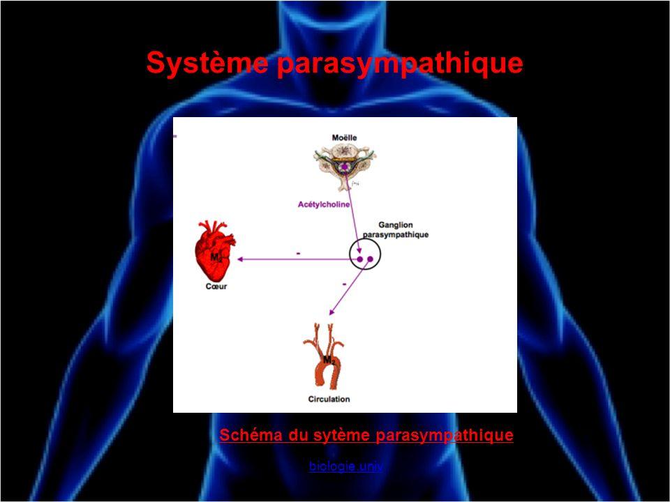 Système parasympathique biologie.univ Schéma du sytème parasympathique