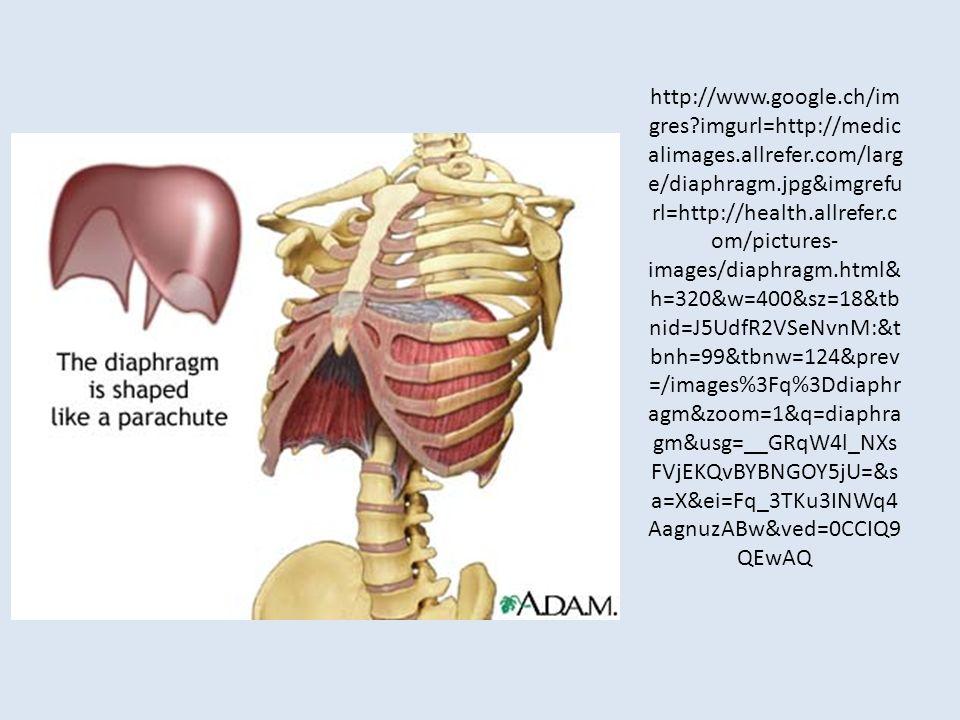 http://www.google.ch/im gres?imgurl=http://medic alimages.allrefer.com/larg e/diaphragm.jpg&imgrefu rl=http://health.allrefer.c om/pictures- images/di