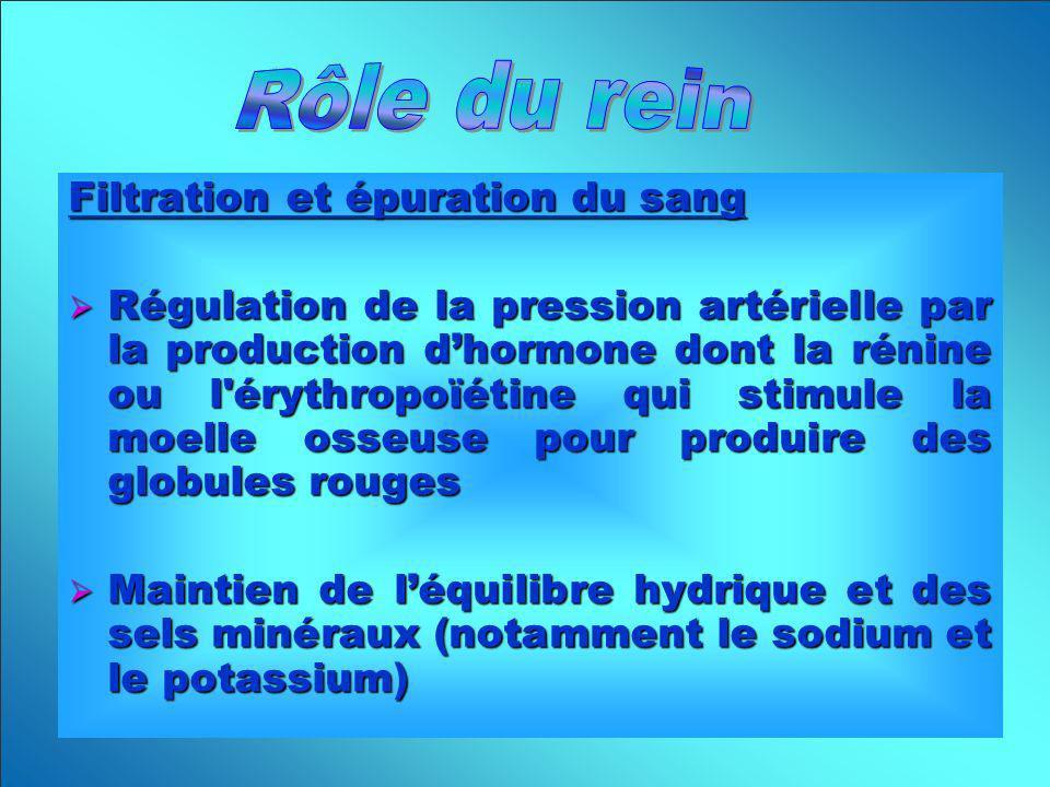 Filtration et épuration du sang Régulation de la pression artérielle par la production dhormone dont la rénine ou l'érythropoïétine qui stimule la moe