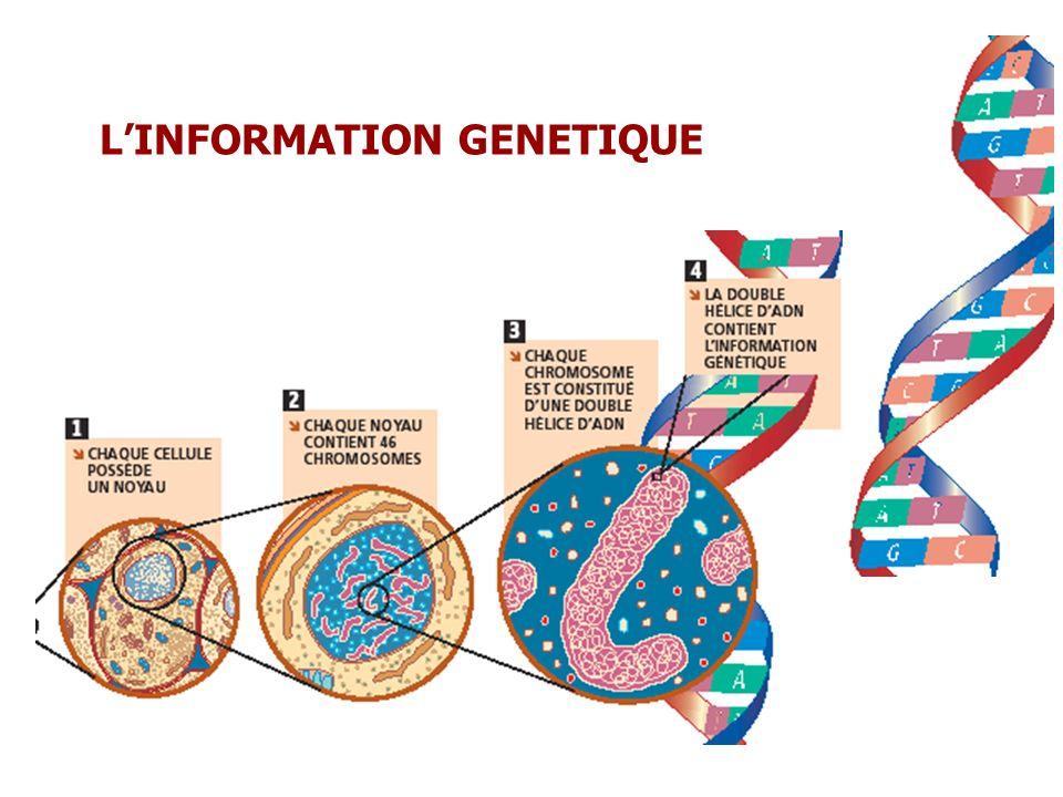 LINFORMATION GENETIQUE