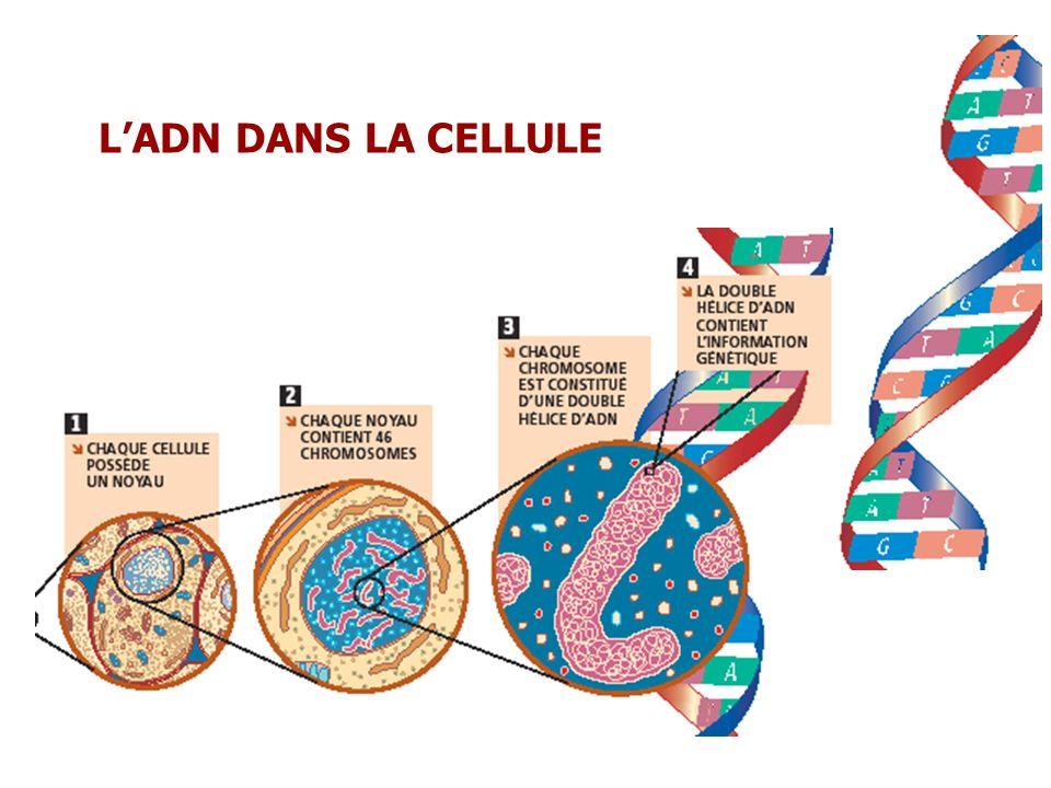 Une maladie génétique survient lorsquune erreur grave survient dans le matériel génétique : Anomalie chromosomique : nombre, structure ou Anomalie survenant sur un gène