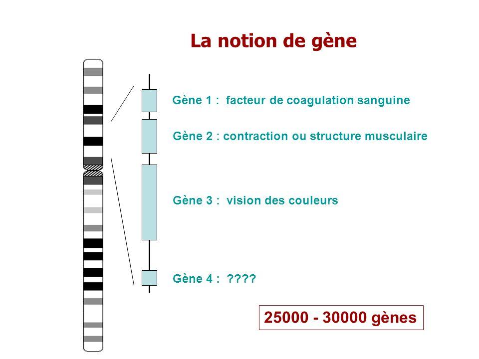 La notion de gène Gène 1 : facteur de coagulation sanguine Gène 2 : contraction ou structure musculaire Gène 3 : vision des couleurs Gène 4 : ???? 250
