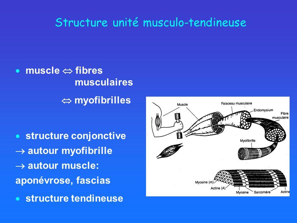 Structure unité musculo-tendineuse muscle fibres musculaires myofibrilles structure conjonctive autour myofibrille autour muscle: aponévrose, fascias structure tendineuse