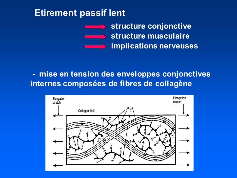 Etirement passif lent - mise en tension des enveloppes conjonctives internes composées de fibres de collagène structure conjonctive structure musculaire implications nerveuses