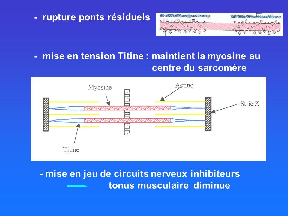 - mise en tension Titine : maintient la myosine au centre du sarcomère - mise en jeu de circuits nerveux inhibiteurs tonus musculaire diminue - rupture ponts résiduels