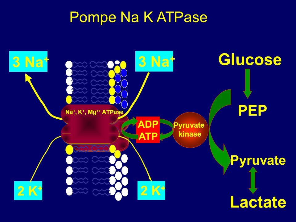 introduction Argument activité de la pompe Na K ATPase et stimulation glycolyse et glycogénolyse Hyperlactatémie acidose lactique Etude in vivo de la relation entre Na + K + ATPase musculaire et lactate chez des patients en choc septique Bundgaard et al.
