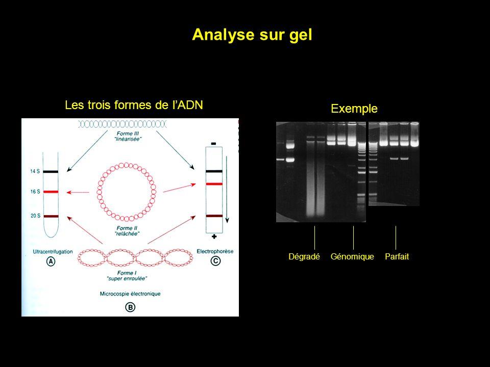 Exemple Les trois formes de lADN Analyse sur gel DégradéGénomiqueParfait
