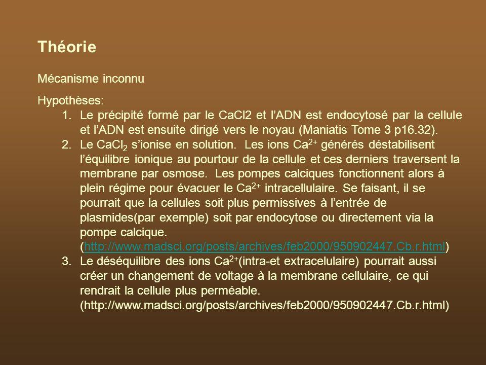 Théorie Mécanisme inconnu Hypothèses: 1.Le précipité formé par le CaCl2 et lADN est endocytosé par la cellule et lADN est ensuite dirigé vers le noyau