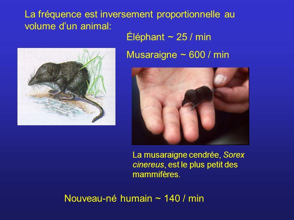 La fréquence est inversement proportionnelle au volume dun animal: Éléphant ~ 25 / min Musaraigne ~ 600 / min La musaraigne cendrée, Sorex cinereus, e