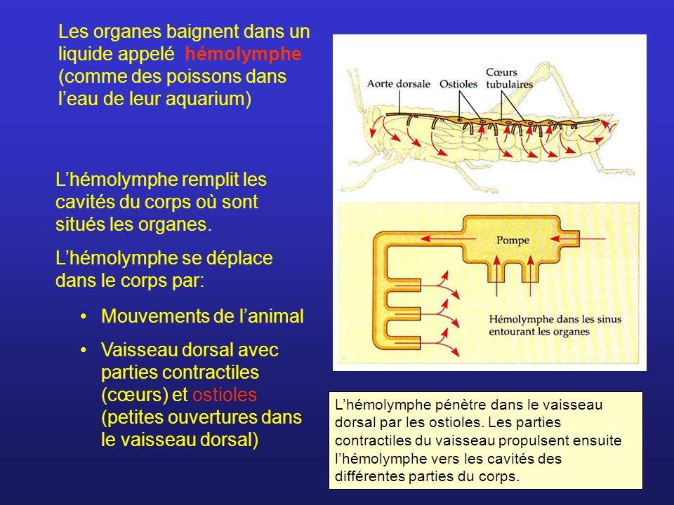 Les organes baignent dans un liquide appelé hémolymphe (comme des poissons dans leau de leur aquarium) Lhémolymphe remplit les cavités du corps où son