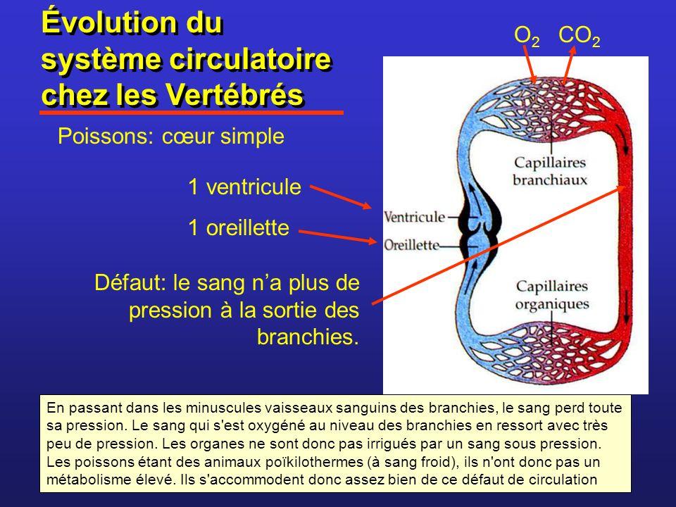 Évolution du système circulatoire chez les Vertébrés Poissons: cœur simple Défaut: le sang na plus de pression à la sortie des branchies. O 2 CO 2 1 v
