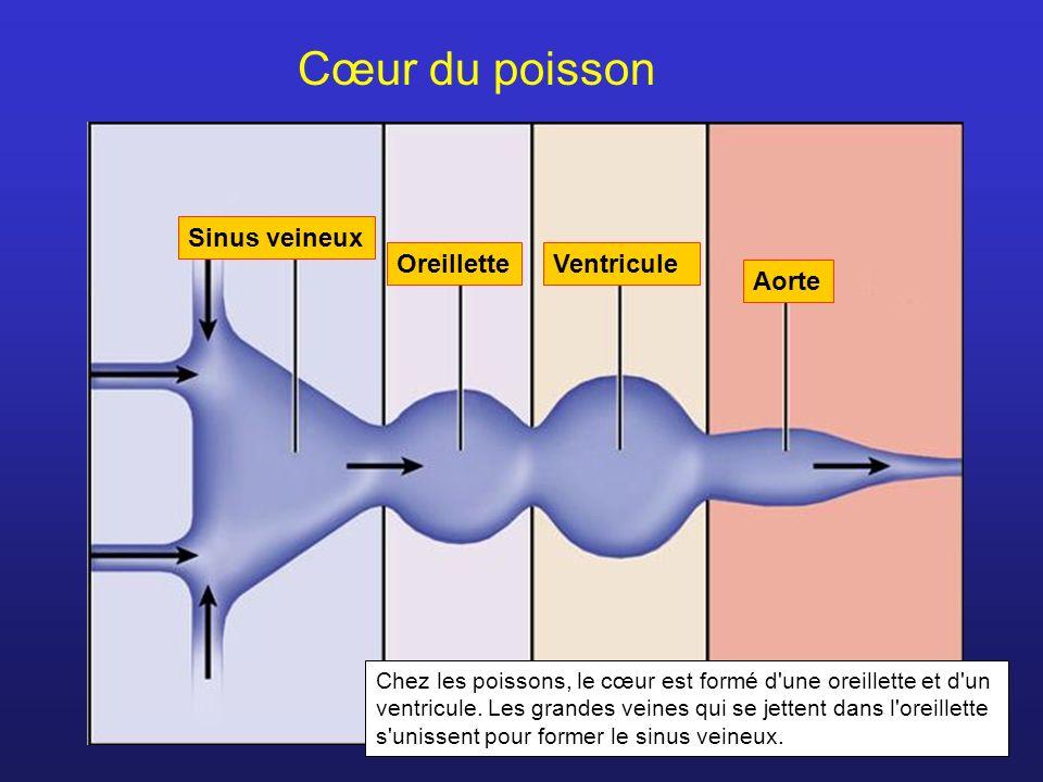 Sinus veineux OreilletteVentricule Aorte Cœur du poisson Chez les poissons, le cœur est formé d'une oreillette et d'un ventricule. Les grandes veines