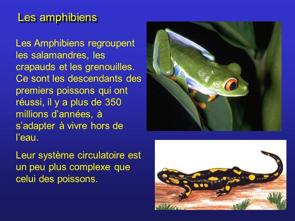 Les amphibiens Les Amphibiens regroupent les salamandres, les crapauds et les grenouilles. Ce sont les descendants des premiers poissons qui ont réuss