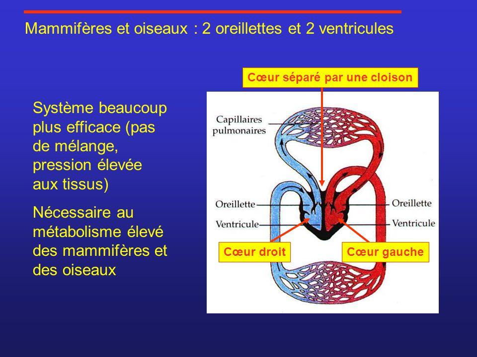 Mammifères et oiseaux : 2 oreillettes et 2 ventricules Système beaucoup plus efficace (pas de mélange, pression élevée aux tissus) Nécessaire au métab