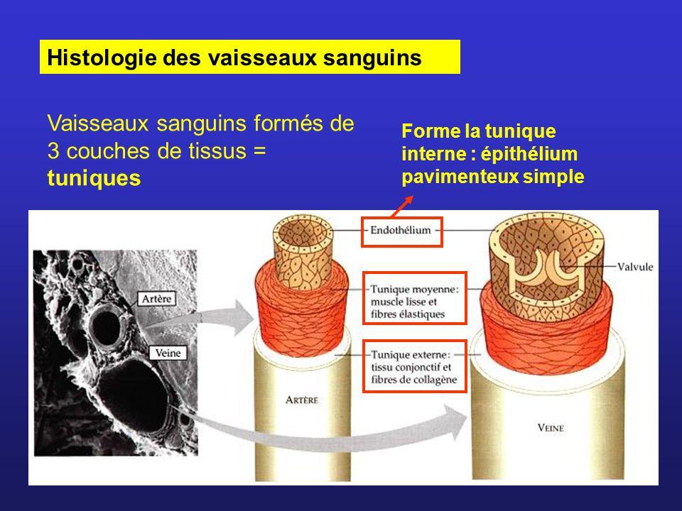 Histologie des vaisseaux sanguins Vaisseaux sanguins formés de 3 couches de tissus = tuniques Forme la tunique interne : épithélium pavimenteux simple