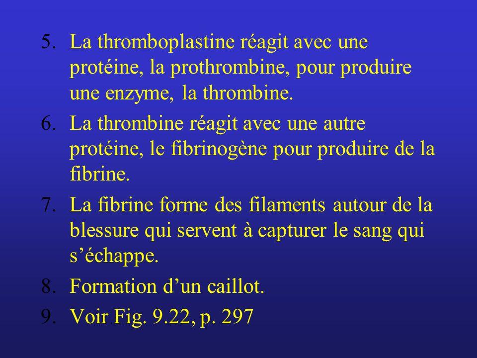 5.La thromboplastine réagit avec une protéine, la prothrombine, pour produire une enzyme, la thrombine. 6.La thrombine réagit avec une autre protéine,