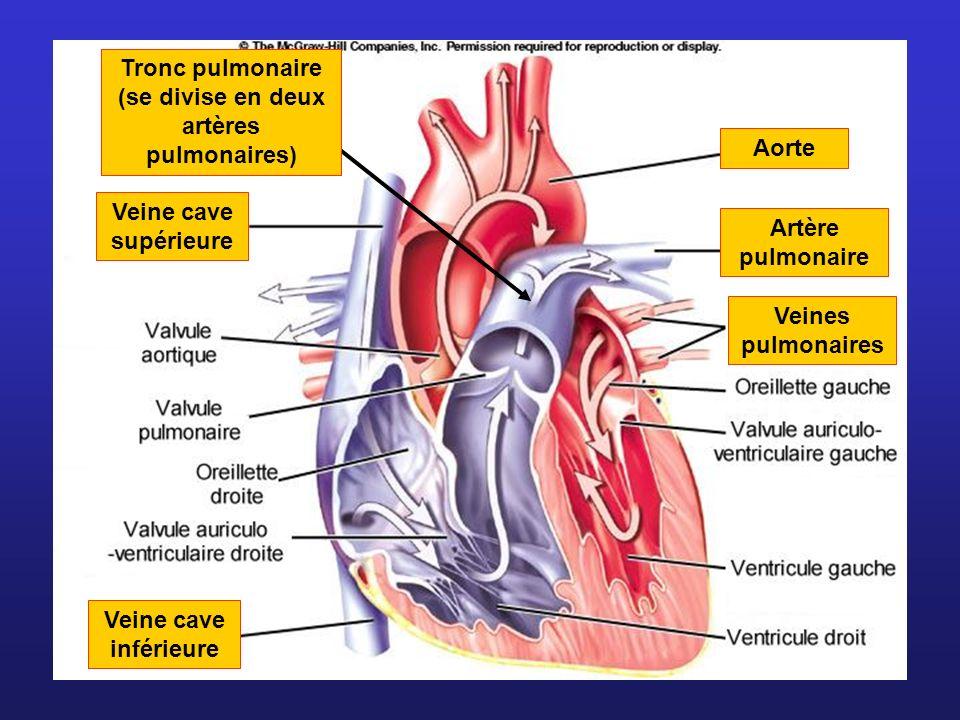 Veine cave supérieure Veine cave inférieure Aorte Veines pulmonaires Artère pulmonaire Tronc pulmonaire (se divise en deux artères pulmonaires)