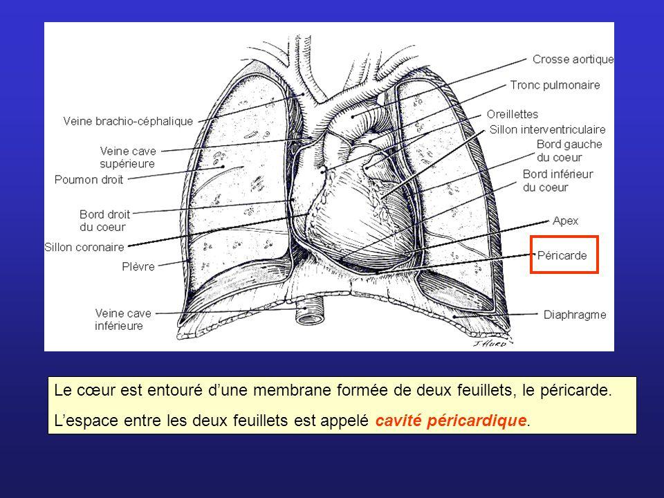 Le cœur est entouré dune membrane formée de deux feuillets, le péricarde. Lespace entre les deux feuillets est appelé cavité péricardique.