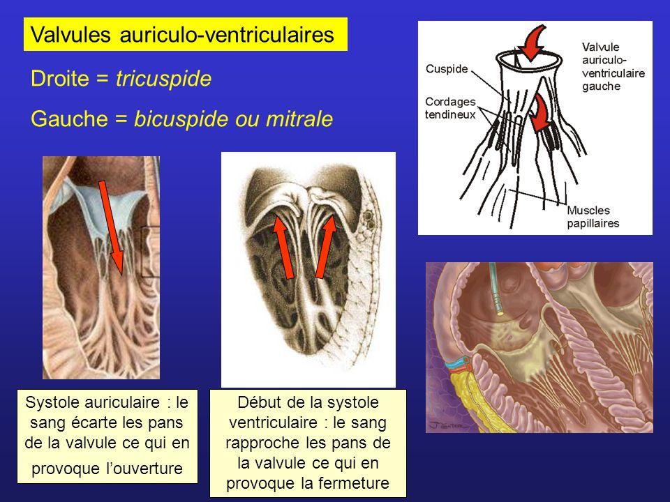 Valvules auriculo-ventriculaires Droite = tricuspide Gauche = bicuspide ou mitrale Systole auriculaire : le sang écarte les pans de la valvule ce qui