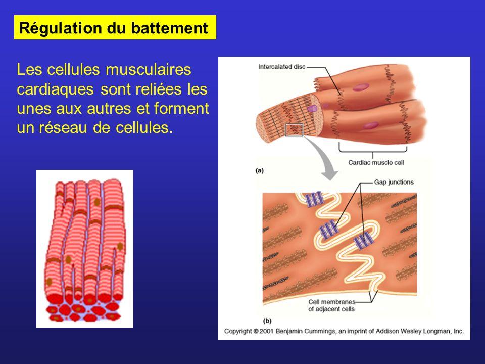 Régulation du battement Les cellules musculaires cardiaques sont reliées les unes aux autres et forment un réseau de cellules.