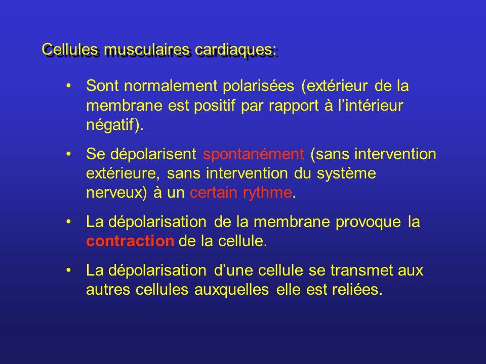 Cellules musculaires cardiaques: Sont normalement polarisées (extérieur de la membrane est positif par rapport à lintérieur négatif). Se dépolarisent