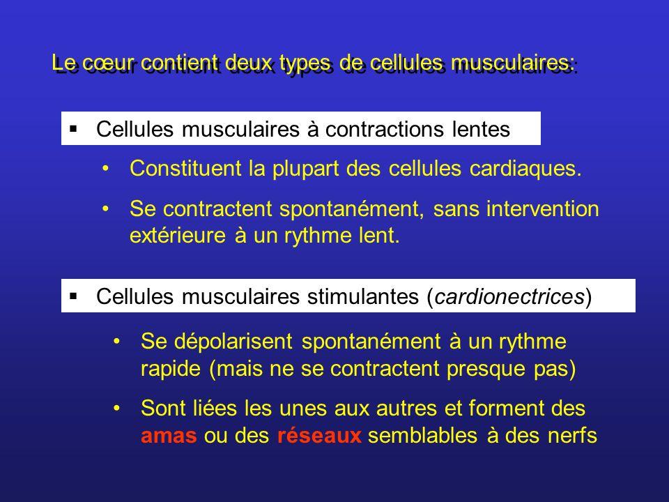 Le cœur contient deux types de cellules musculaires: Constituent la plupart des cellules cardiaques. Se contractent spontanément, sans intervention ex