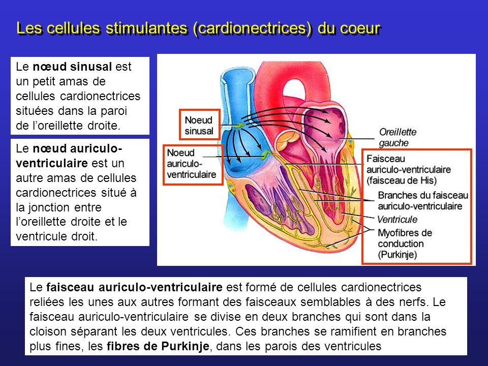 Le faisceau auriculo-ventriculaire est formé de cellules cardionectrices reliées les unes aux autres formant des faisceaux semblables à des nerfs. Le