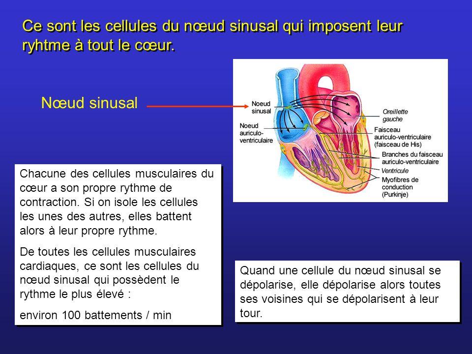 Nœud sinusal Ce sont les cellules du nœud sinusal qui imposent leur ryhtme à tout le cœur. Chacune des cellules musculaires du cœur a son propre rythm