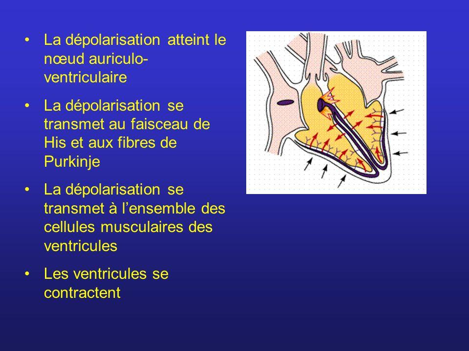 La dépolarisation atteint le nœud auriculo- ventriculaire La dépolarisation se transmet au faisceau de His et aux fibres de Purkinje La dépolarisation