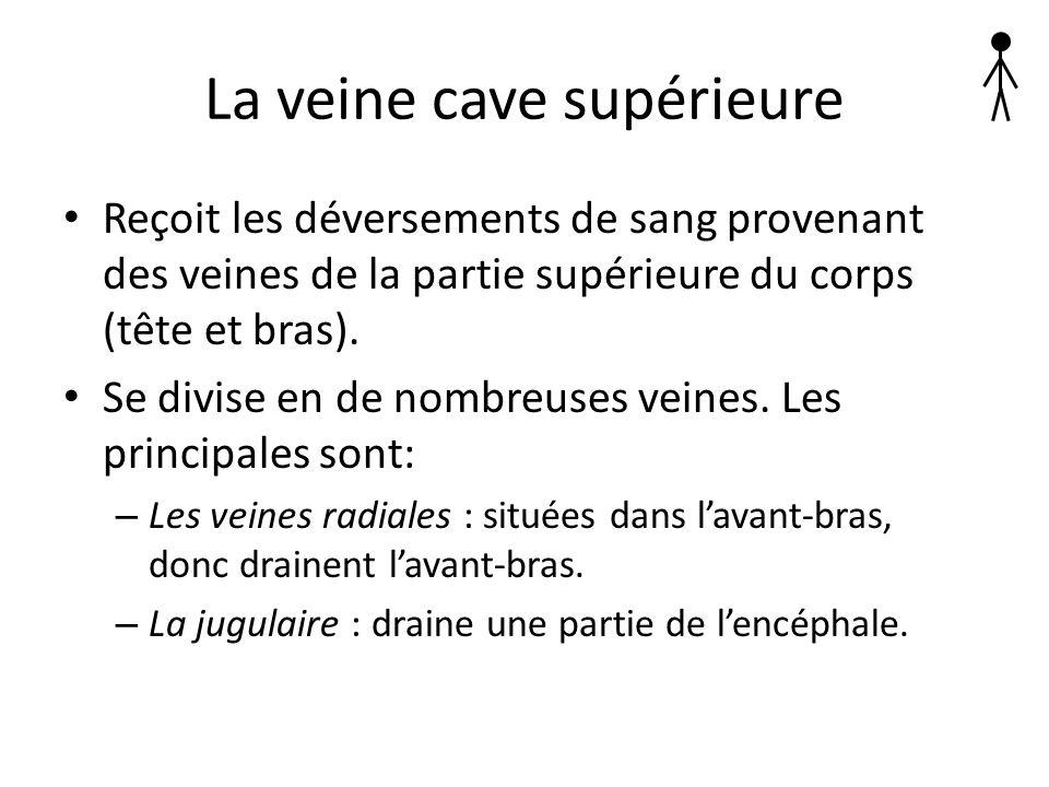 La veine cave supérieure Reçoit les déversements de sang provenant des veines de la partie supérieure du corps (tête et bras). Se divise en de nombreu