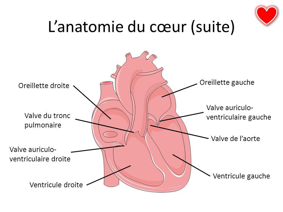 Lanatomie du cœur (suite) Oreillette droite Valve auriculo- ventriculaire droite Ventricule droite Oreillette gauche Ventricule gauche Valve auriculo-