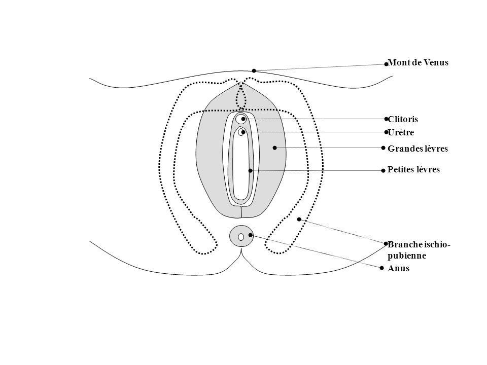 Mont de Venus Clitoris Urètre Petites lèvres Grandes lèvres Branche ischio- pubienne Anus