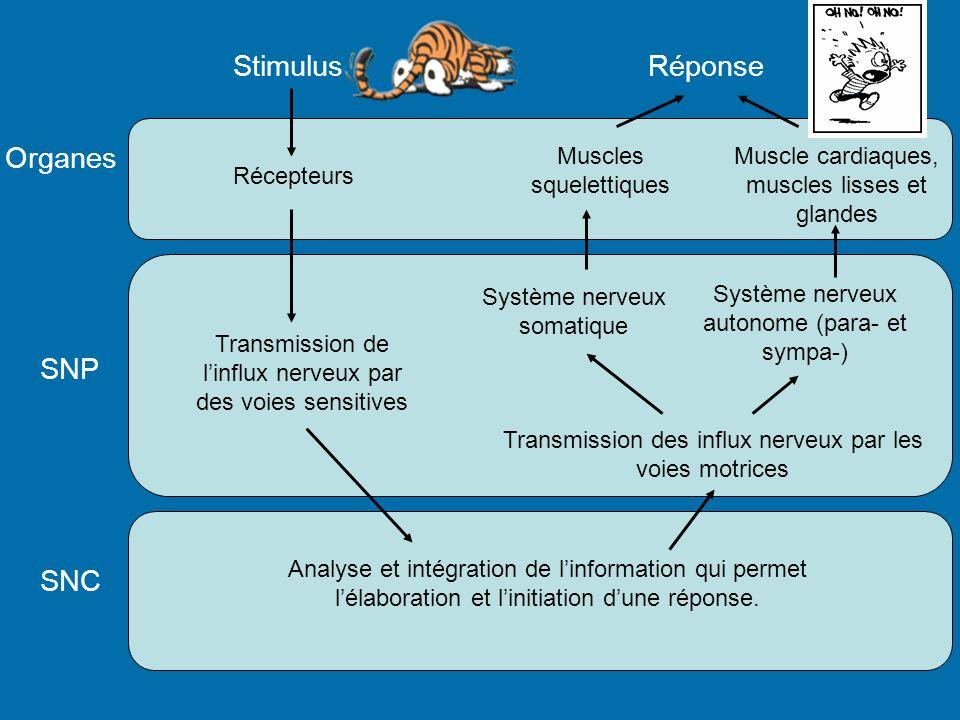 Organes SNP SNC Stimulus Récepteurs Transmission de linflux nerveux par des voies sensitives Analyse et intégration de linformation qui permet lélabor