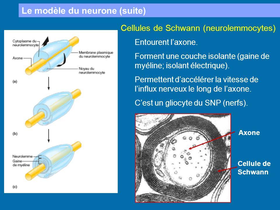 Le modèle du neurone (suite) Cellules de Schwann (neurolemmocytes) Entourent laxone. Forment une couche isolante (gaine de myéline; isolant électrique