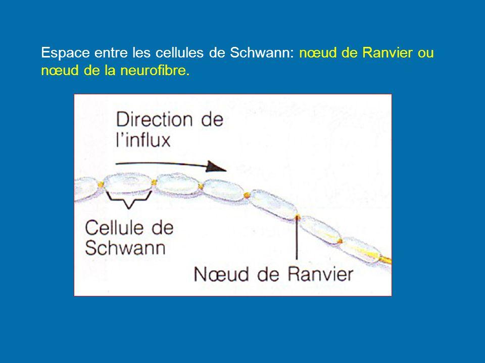 Espace entre les cellules de Schwann: nœud de Ranvier ou nœud de la neurofibre.