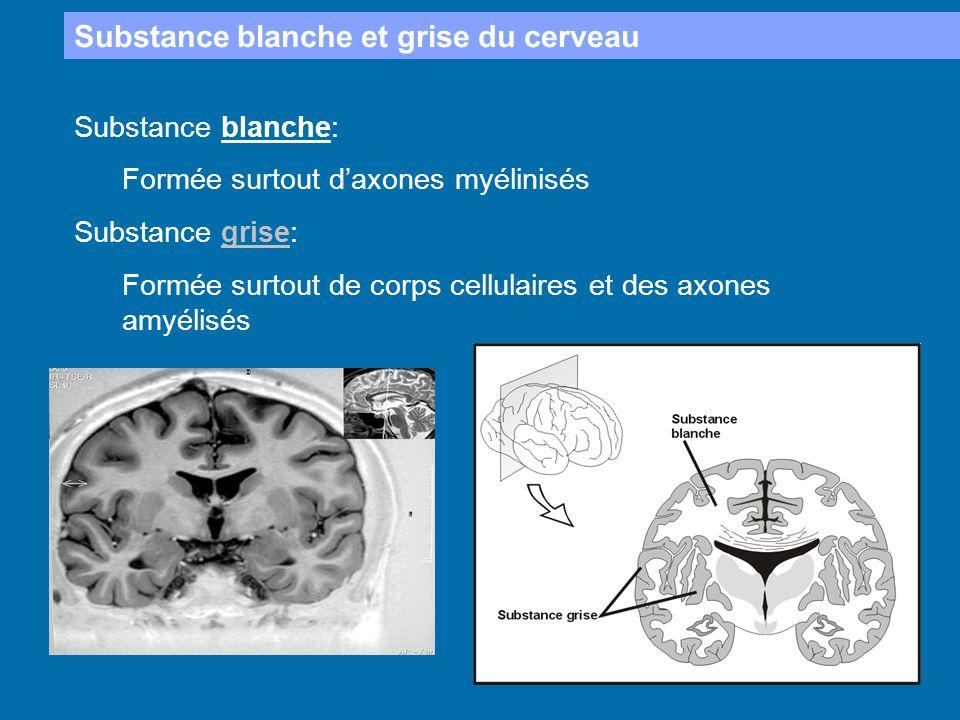 Substance blanche et grise du cerveau Substance blanche: Formée surtout daxones myélinisés Substance grise: Formée surtout de corps cellulaires et des