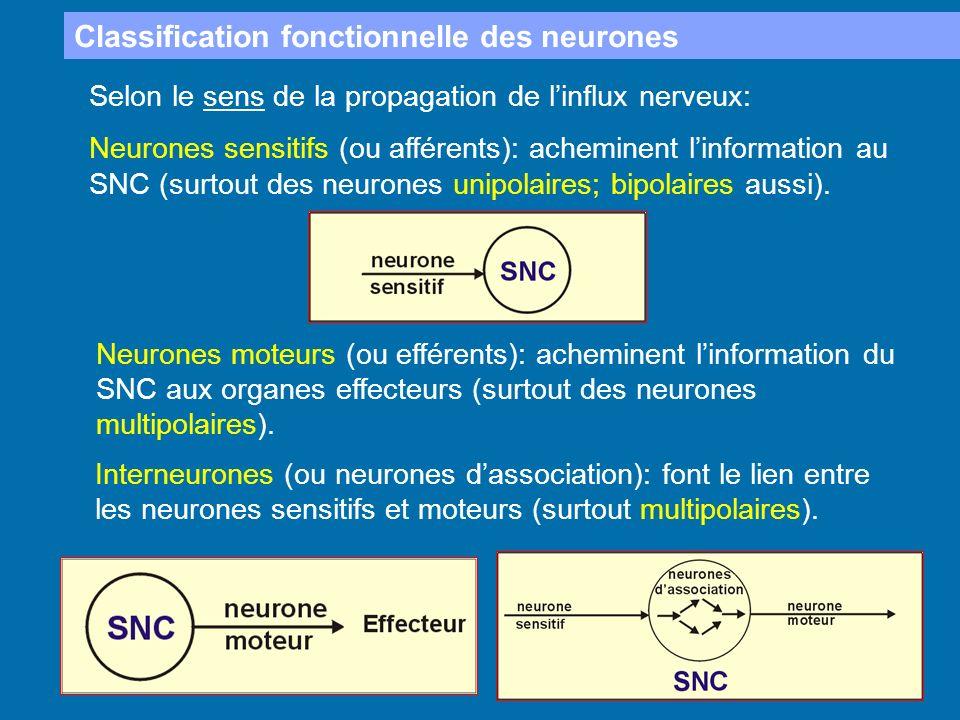 Classification fonctionnelle des neurones Selon le sens de la propagation de linflux nerveux: Neurones sensitifs (ou afférents): acheminent linformati