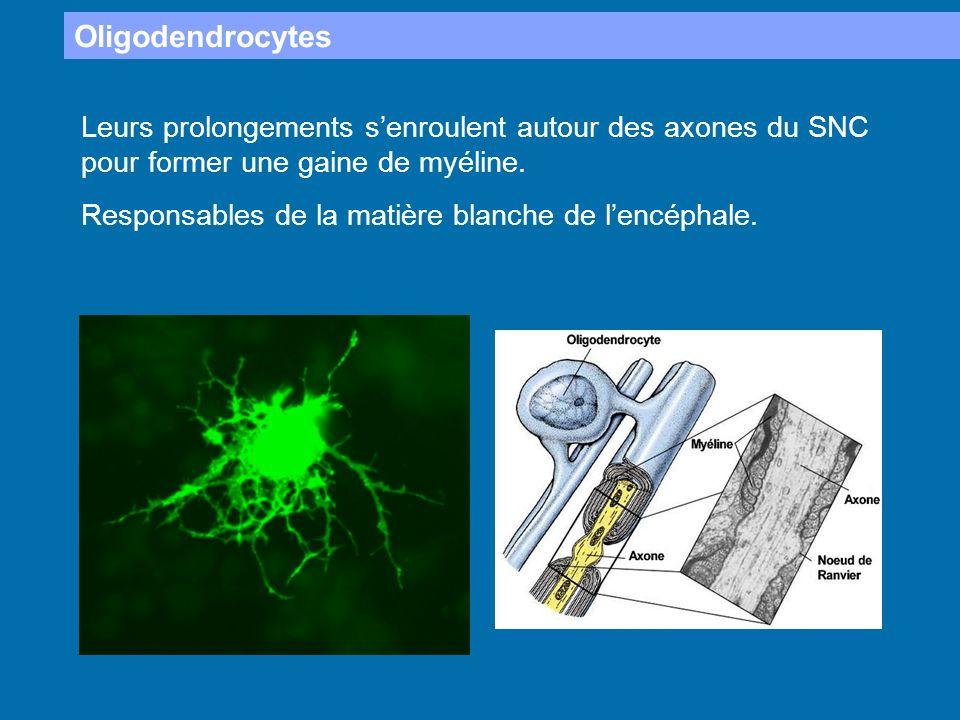 Oligodendrocytes Leurs prolongements senroulent autour des axones du SNC pour former une gaine de myéline. Responsables de la matière blanche de lencé