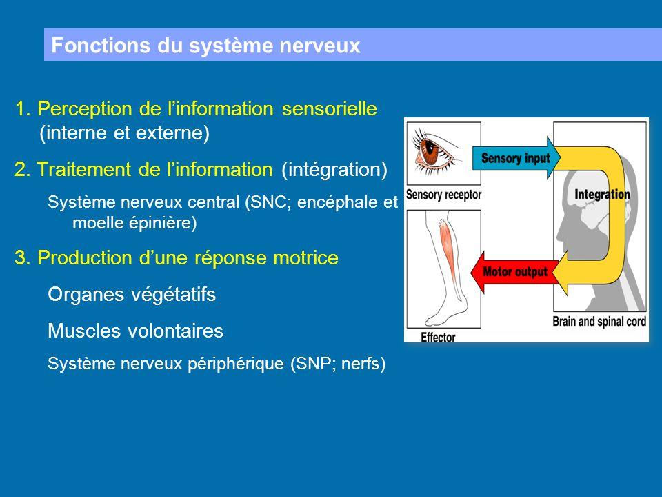 Fonctions du système nerveux 1. Perception de linformation sensorielle (interne et externe) 2. Traitement de linformation (intégration) Système nerveu