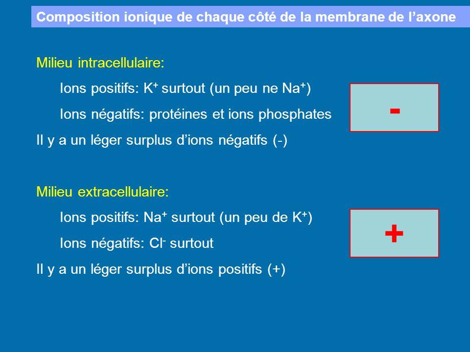 Composition ionique de chaque côté de la membrane de laxone Milieu intracellulaire: Ions positifs: K + surtout (un peu ne Na + ) Ions négatifs: protéi