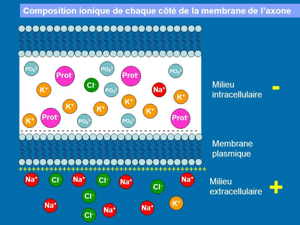 Membrane plasmique Milieu intracellulaire Milieu extracellulaire Na + K+K+ K+K+ K+K+ K+K+ K+K+ K+K+ K+K+ Cl - Na + K+K+ Prot - PO 4 3- + - +++++++++++
