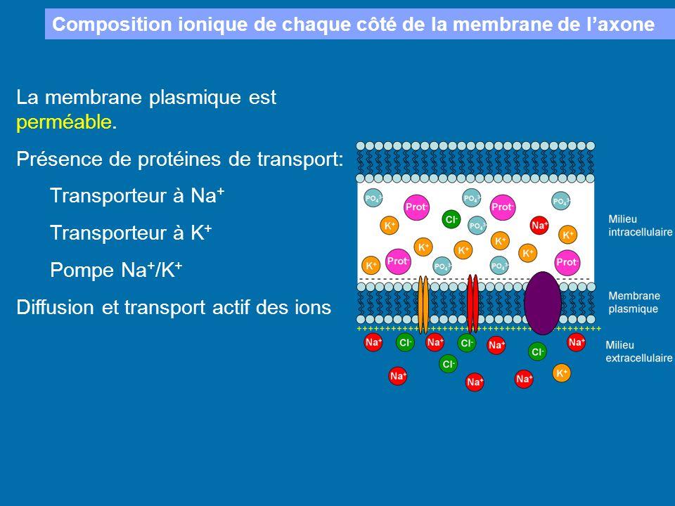 La membrane plasmique est perméable. Présence de protéines de transport: Transporteur à Na + Transporteur à K + Pompe Na + /K + Diffusion et transport